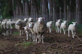 sheep-1246204__340