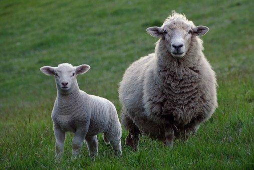 sheep-2625347__340
