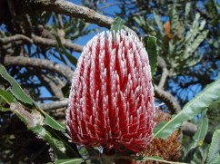 banksia-365351__340