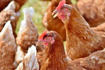 chicken-3587380__340