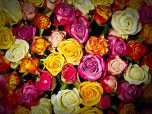 roses-1229148__340