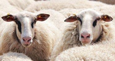 sheep-2292802__340